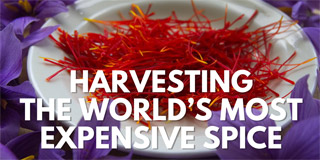 Harvesting the World's Most Expensive Spice - Great Big Story