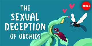 The sexual deception of orchids - Anne Gaskett - TED-Ed