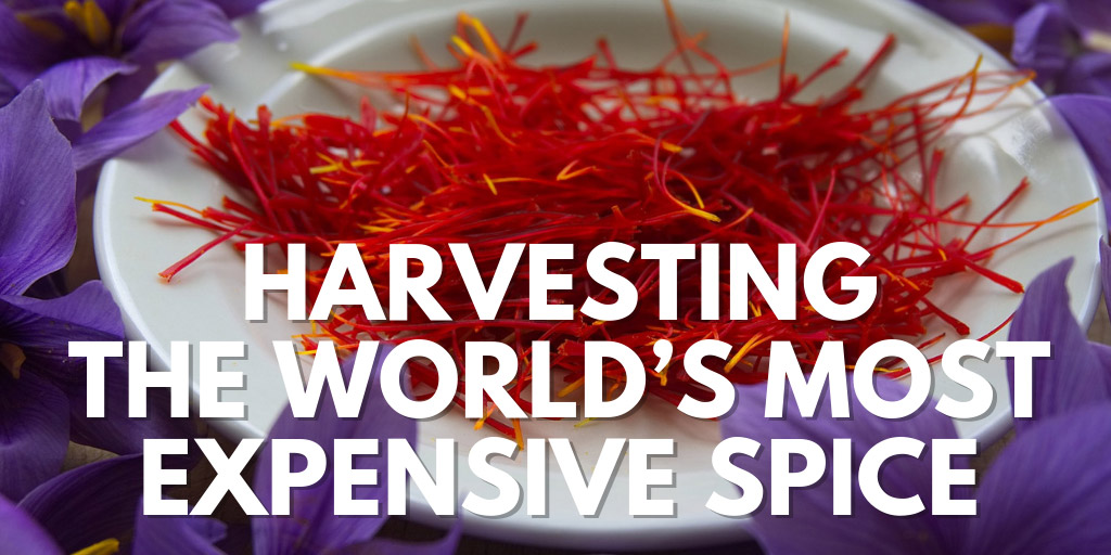 Harvesting the World's Most Expensive Spice